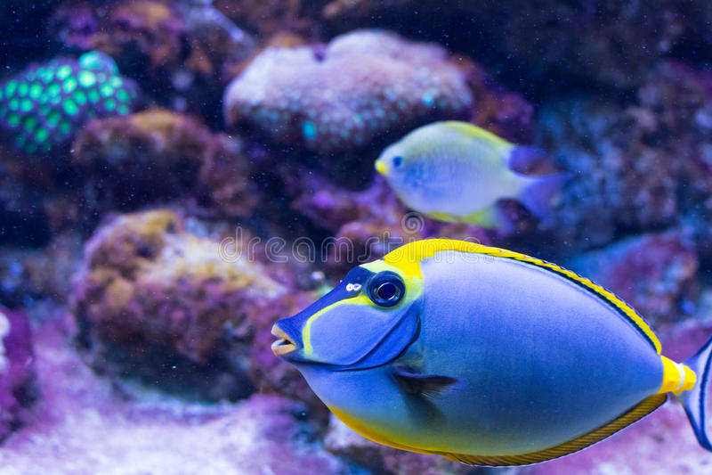 Tropikalny ryba flaga paracanthurus wewnątrz - Vivo (Paracanthurus hepatus) zdjęcia royalty free