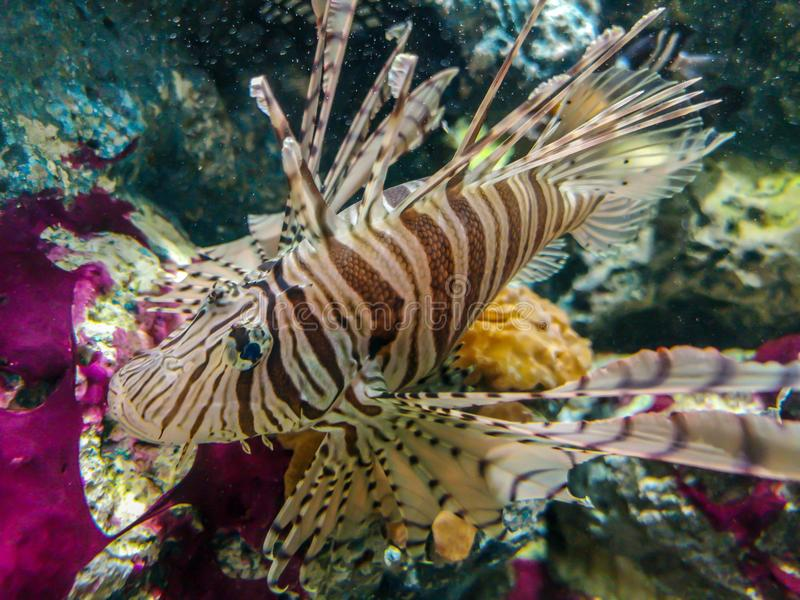 Tropikalny rybi lionfish pod wodą zdjęcie royalty free