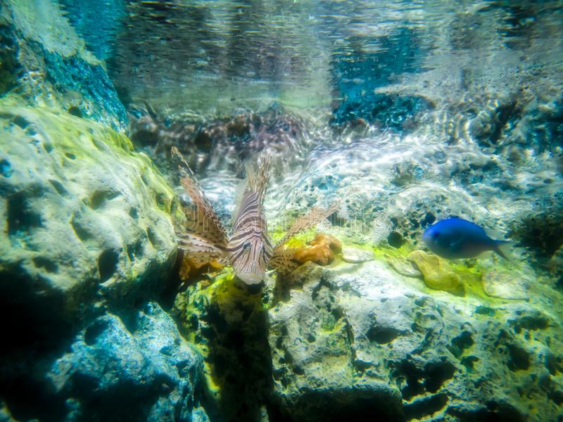 Tropikalny rybi lionfish pod wodą zdjęcie stock