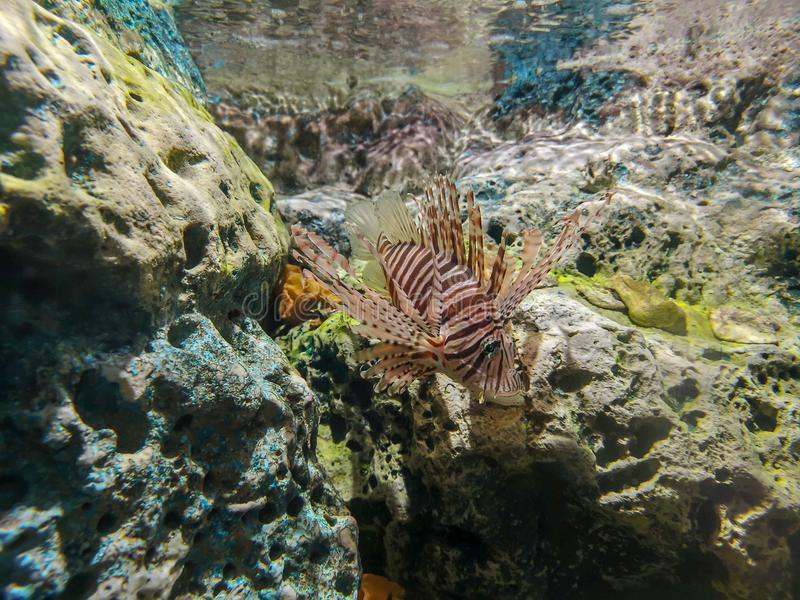 Tropikalny rybi lionfish pod wodą zdjęcia royalty free