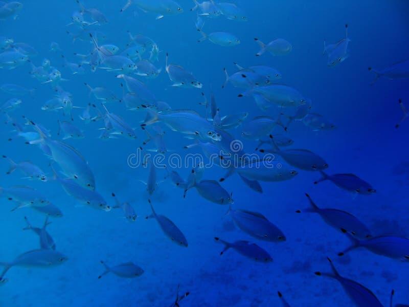 tropikalny rybi tłum zdjęcia stock