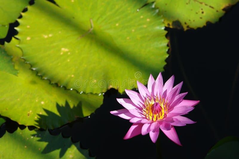 tropikalny waterlily obraz royalty free