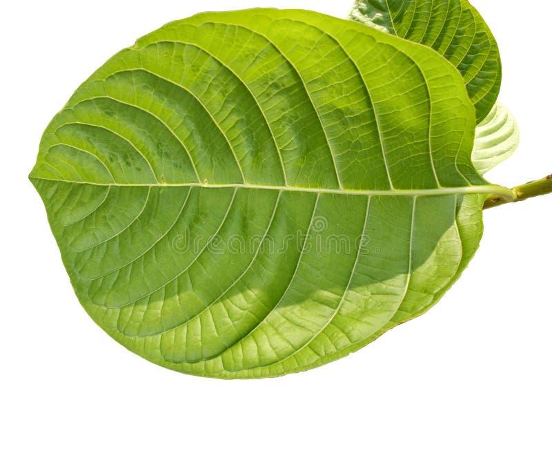 Tropikalny zielony ulistnienie z gałąź odizolowywać na białych tło ilustracji