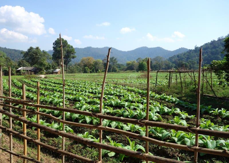 Tropikalnych gór Tabaczna plantacja z ogrodzeniem obrazy royalty free
