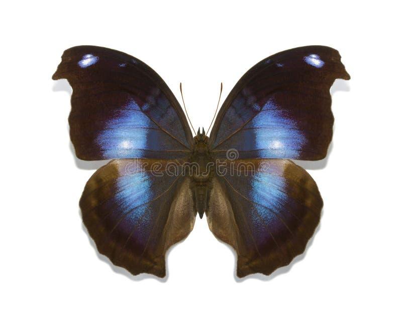 Download Tropikalnych Motyli Napeocles Inkasowy Jucunda Zdjęcie Stock - Obraz złożonej z amazon, biały: 41951390