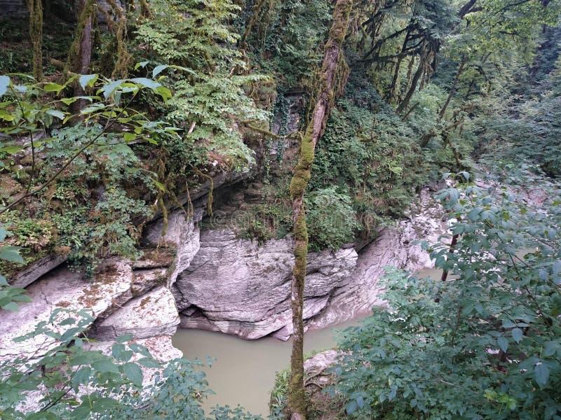 Tropikerna i en tät grön skog på en molnig dag Buxbom utan sidor som förstörs av en cudalima för mal för fjärilsaskträd arkivbilder