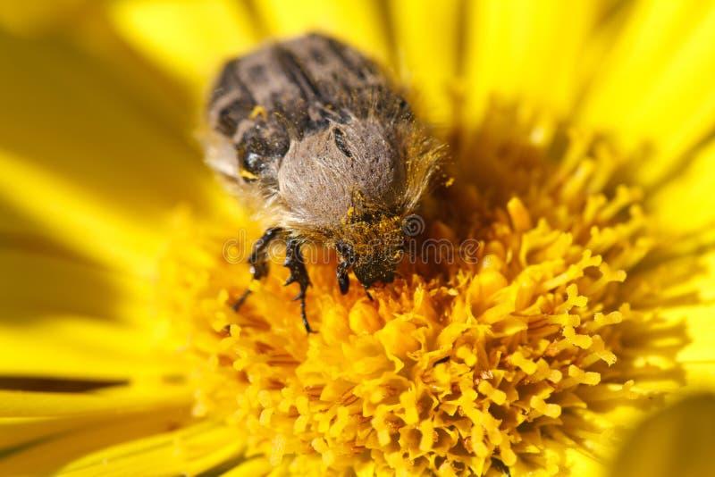 Tropinota在黄色花宏指令的hirta昆虫 库存图片