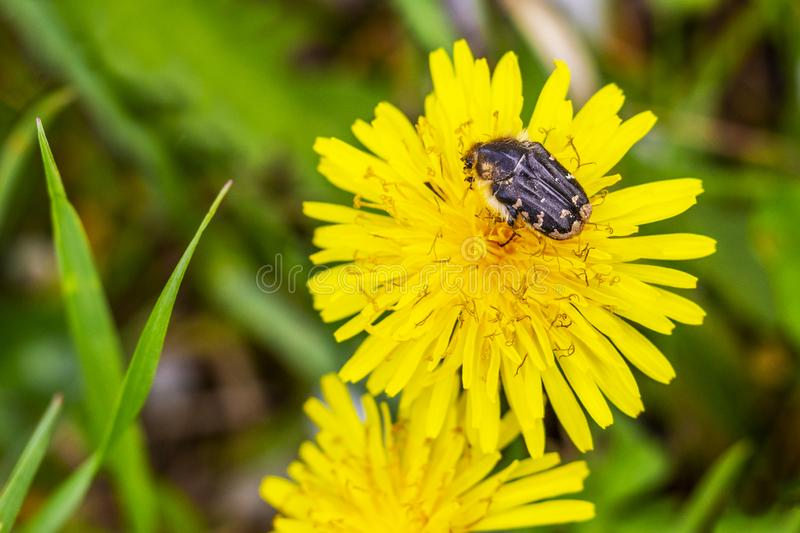 Tropinota hirta beetle on a dandelion flower head royalty free stock photo