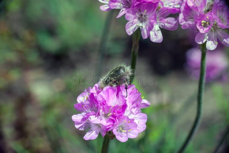 Tropinota hirta hairy beetle on Armeria pink flower stock image