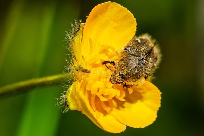Tropinota hirtakryp p? gul blommamakro arkivbilder
