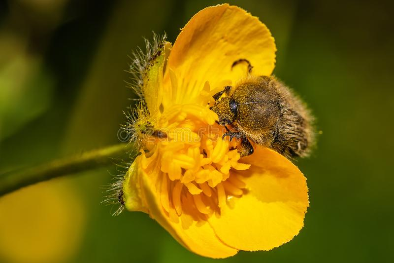 Tropinota hirtakryp p? gul blommamakro royaltyfri bild