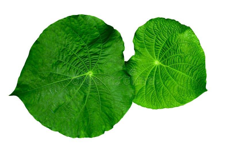 tropisch bosdieblad op witte achtergrond wordt geïsoleerd stock fotografie