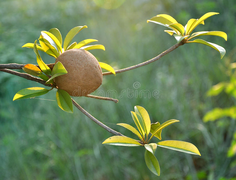 Tropisch fruit - Chiku stock foto