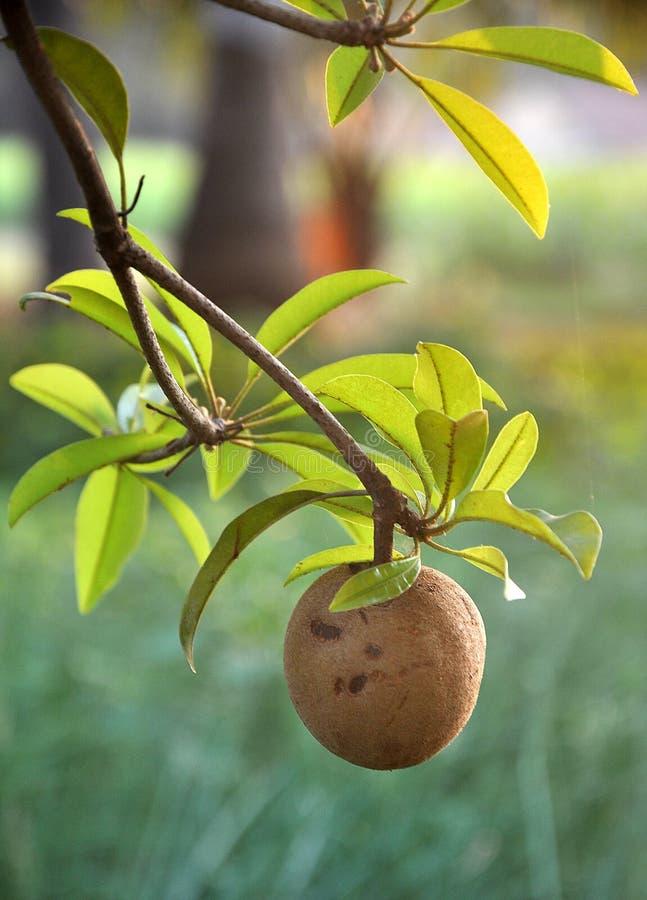 Tropisch fruit - Chiku royalty-vrije stock foto