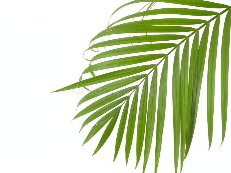 Tropisch palmblad op witte achtergrond stock foto