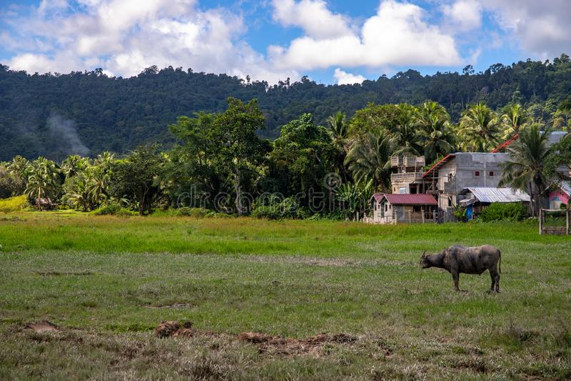 Tropisch platteland met groene bos, gebied en buffels De landbouwbedrijfbouw en dier Karbouwstier in zonnig landschap stock afbeeldingen
