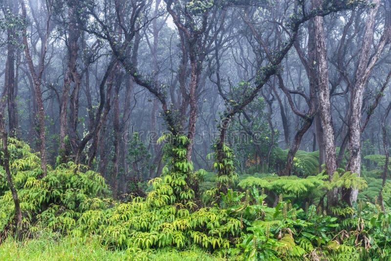 Tropisch Regenwoud in Hawaï Groene vegetatie op grond Onvruchtbare bomen hierboven Mist op achtergrond stock afbeelding
