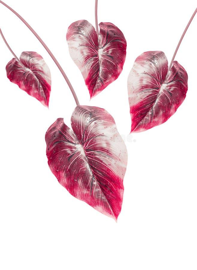 Tropisch rood die blad, op witte achtergrond wordt geïsoleerd Hangend exotisch blad stock afbeeldingen