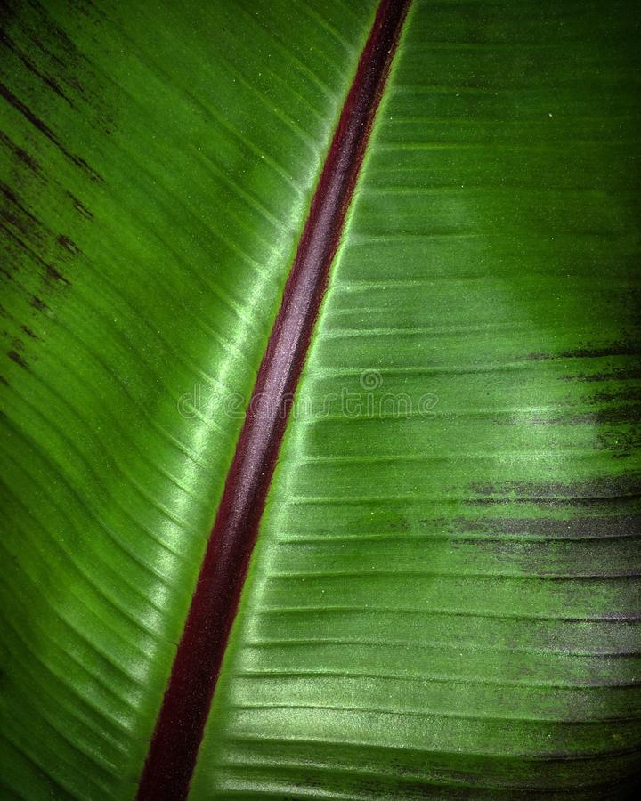 Tropische Anlage des Musaceaebananenblattdetails stockfoto