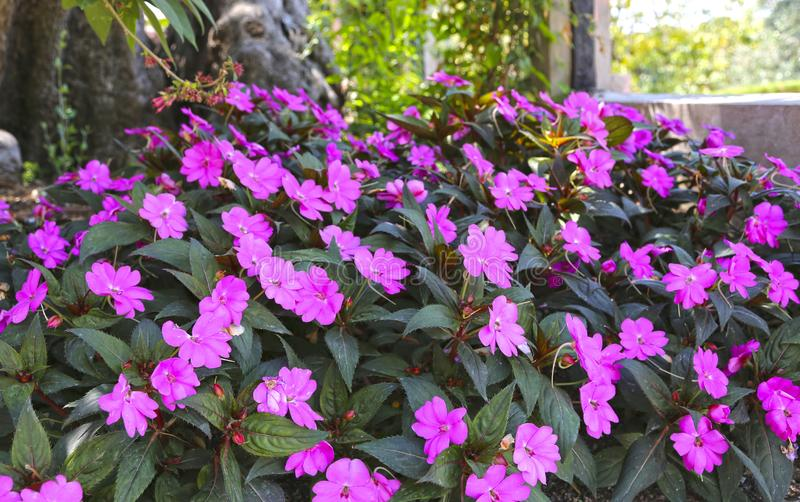 Tropische Anlage mit rosa Blumen impatiens neuguinea stockfoto