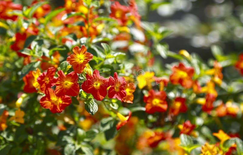 Tropische Anlage mit rotem Blumen impatiens neuguinea, balsamine stockfoto
