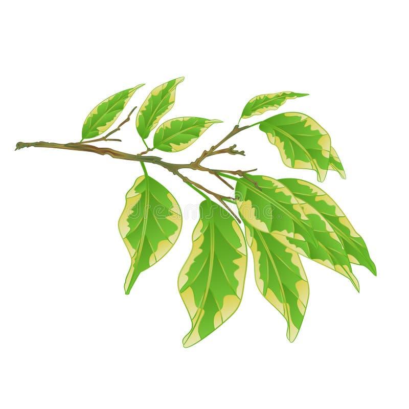 Tropische Anlagenficus benjamina veränderte Ficusniederlassung auf einer weißen Hintergrundweinlese-Vektorillustration editable lizenzfreie abbildung