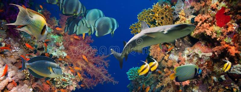 Tropische Anthias-Fische mit Nettofeuerkorallen und Haifisch stockfotos