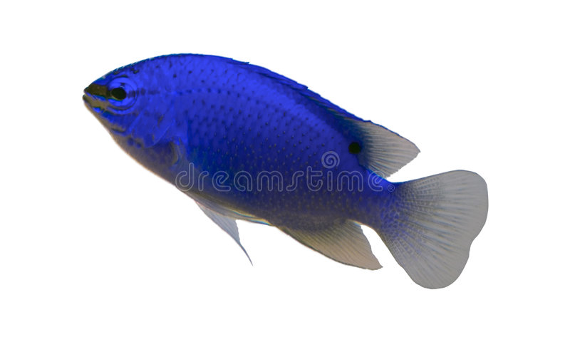 Tropische aquariumvissen royalty-vrije stock afbeelding
