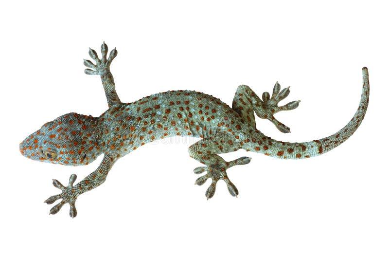 Tropische Aziatische die gekko op witte achtergrond wordt geïsoleerd royalty-vrije stock afbeelding