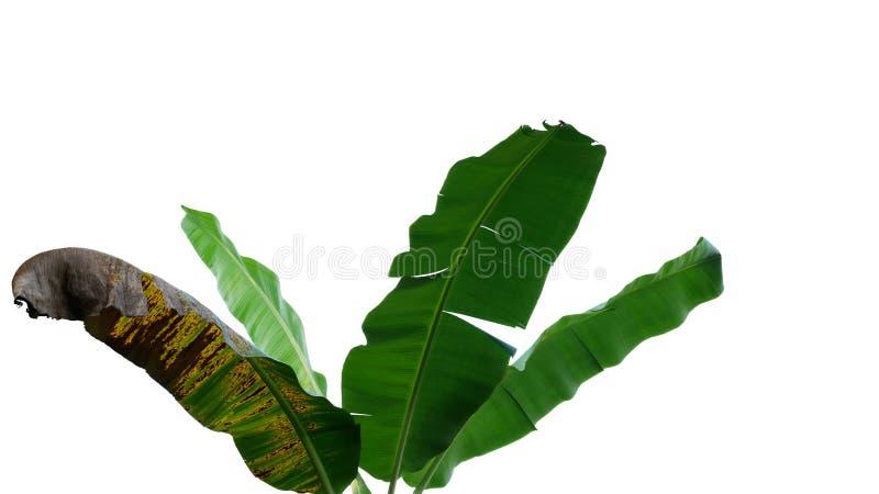 Tropische Bananenstaudeblätter, Naturrahmenplan lokalisiert auf whi lizenzfreie stockfotos