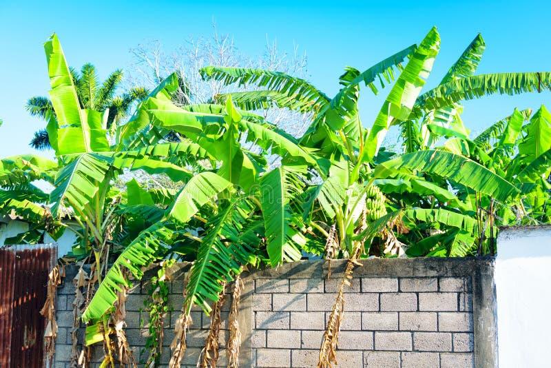 Tropische Bananenstauden stockbilder