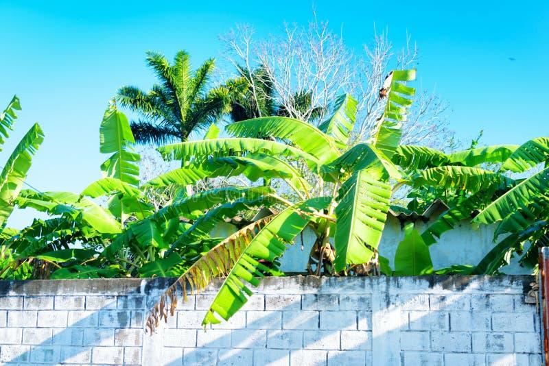 Tropische Bananenstauden lizenzfreies stockbild