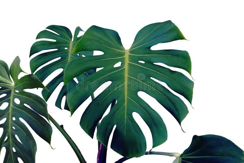 Tropische Blätter von Monstera-Anlage in dunkler Tone Color Isolated auf weißem Hintergrund lizenzfreie stockfotos