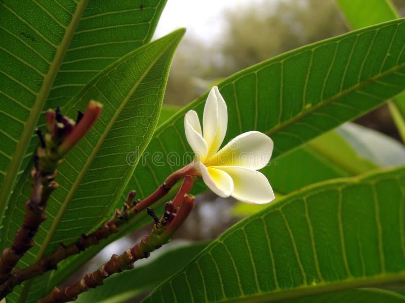 Tropische bloem stock afbeeldingen