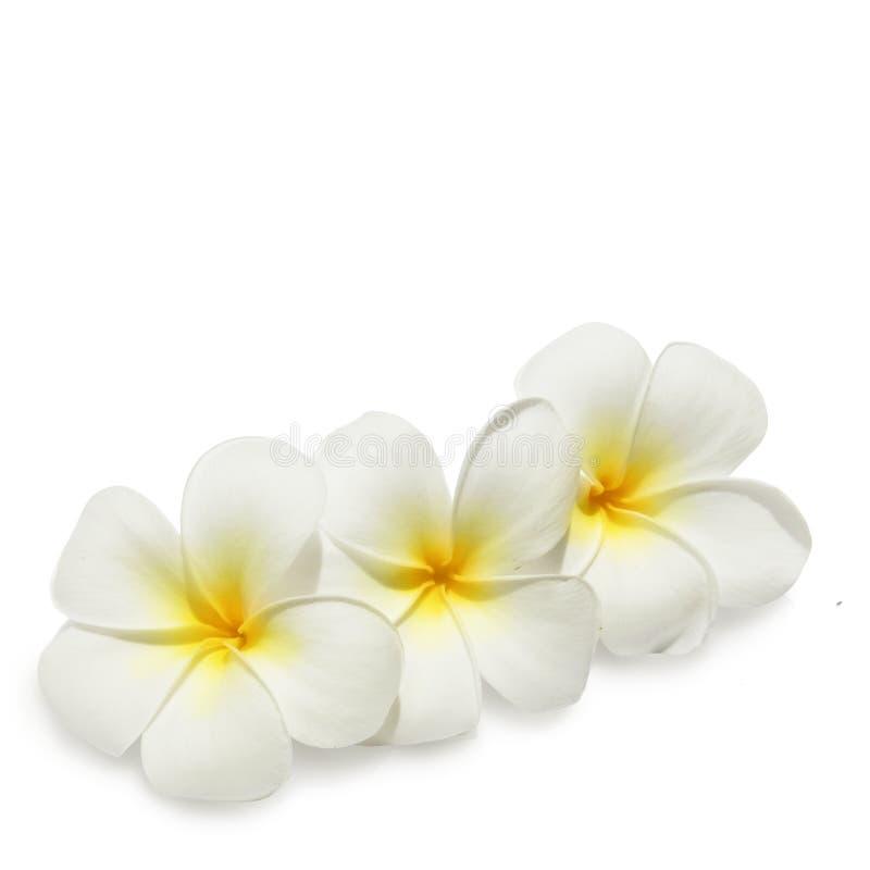 Tropische bloemenfrangipani op wit royalty-vrije stock afbeelding