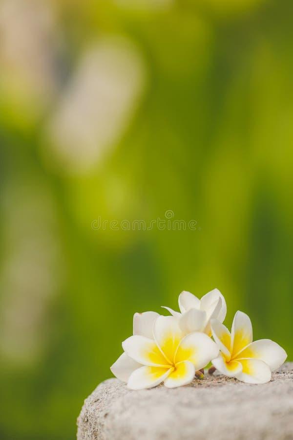 Tropische bloemenfrangipani, plumeria amid groen stock foto's