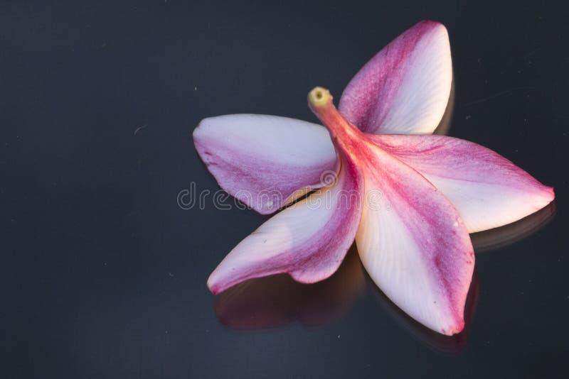Tropische Blume stockfotos
