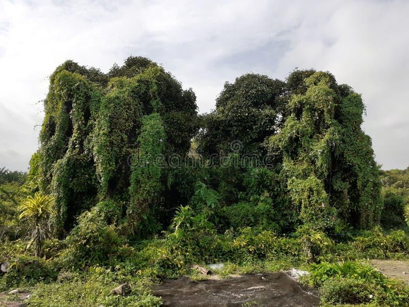 Tropische bos en struiken in Maleisië in kluang, johor, Maleisië stock fotografie