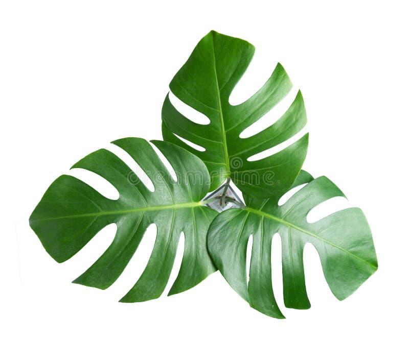 tropische botanische bladerenachtergronden op wit stock afbeelding