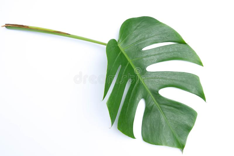 tropische botanische bladerenachtergronden op wit stock fotografie