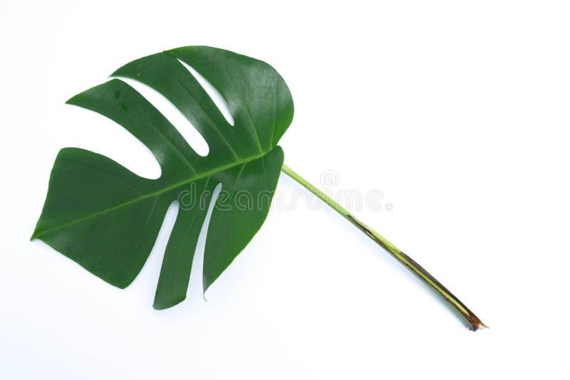 tropische botanische bladerenachtergronden op wit royalty-vrije stock afbeelding