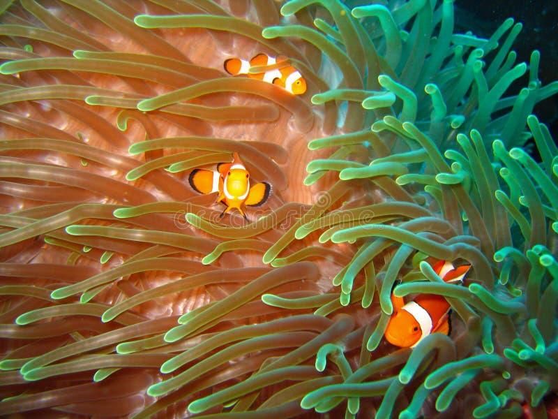 Tropische Clownfischfamilie stockfotos
