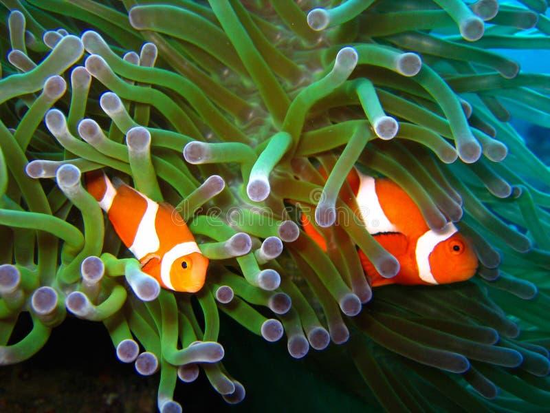 Tropische Clownfischfamilie stockbilder