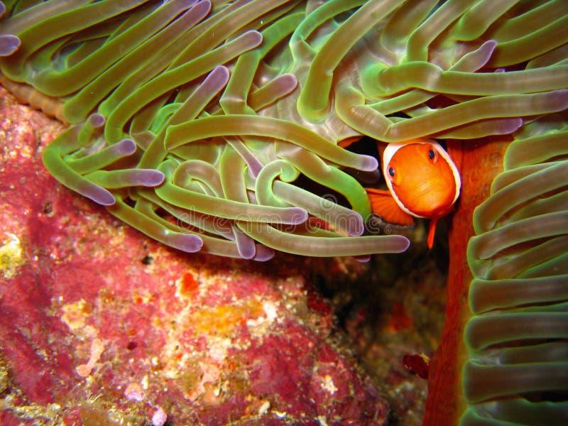 Tropische clownvissen stock afbeeldingen