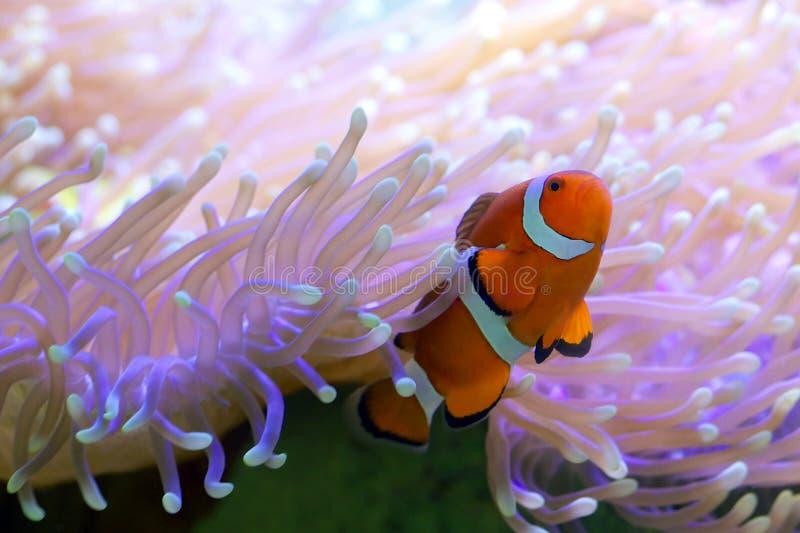 Tropische clownvissen die in anemoon verbergen stock afbeelding