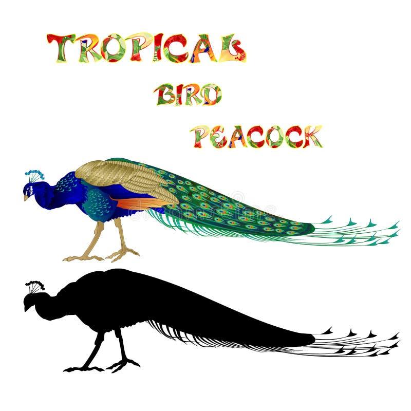 Tropische de Pauwaard en silhouet van de vogelschoonheid op een witte achtergrond editable waterverf uitstekende vectorillustrati vector illustratie