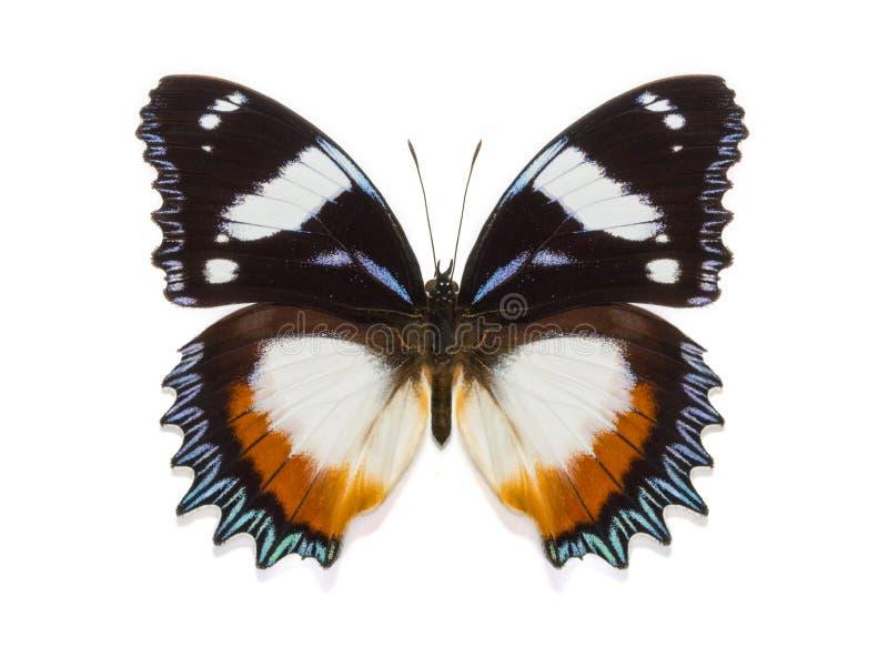 Tropische dexithea van Hypolimnas van de inzamelingsvlinder stock foto's
