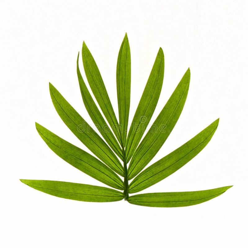Tropische die bladeren op witte achtergrond worden geïsoleerd stock foto