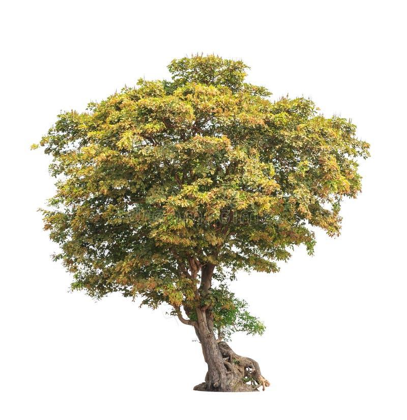 Tropische die boom met wortels op wit worden geïsoleerd stock foto
