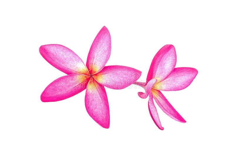 Tropische die plumeria van bloemenfrangipani op witte achtergrond wordt geïsoleerd royalty-vrije stock afbeeldingen
